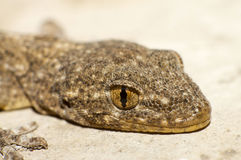 Gecko's eyes Stock Images