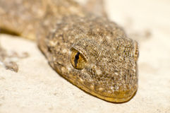 Gecko's eyes royalty free stock photography
