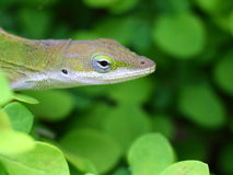 Gecko's head among the bushes. A curious gecko appears his head from the green bushes Royalty Free Stock Photos