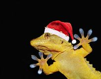 Gecko with santa claus hat that greets everyone. Portrait of gecko with santa claus hat that greets everyone on black background Royalty Free Stock Photo