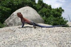 Gecko serengeti im Nationalpark Stockfotos