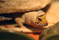 Gecko Shedding Stock Photography