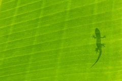 Gecko Silhouette Stock Images
