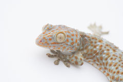 Gecko. Single white background blur Royalty Free Stock Images