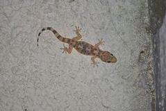 Gecko sits on a wall. Gecko sits on a concrete wall Stock Photo