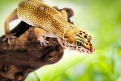 Gecko sitting on a branch Stock Image