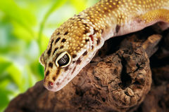 Gecko sitting on a branch Stock Photography
