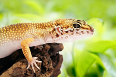 Gecko sitting on a branch Stock Photos