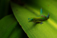 Gecko sitting on green leaf at Hawaii Big Island Stock Images