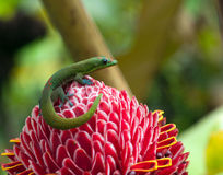 Gecko sitting on Red Torch Ginger Flower at Hawaii Big Island. In Akaka state park royalty free stock images