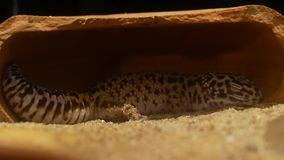 Gecko sleeping in the daytime. Close up Gecko sleeping in the daytime stock footage