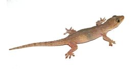 Gecko. Small lizard. Royalty Free Stock Image