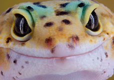 Gecko Smile. A young gecko is staring straight into the camera royalty free stock photo