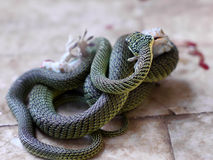 Gecko & Snake. Gecko fighting with snake Stock Photo