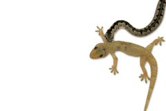 Gecko and snake on white background Stock Photo