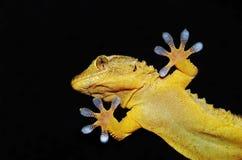 Gecko sobre el vidrio claro Imagenes de archivo