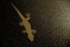 Gecko som fästas till det knöt exponeringsglaset arkivfoto