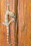 Gecko som går över ett stycke av trä Arkivfoton
