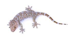 Gecko som isoleras på vit bakgrund arkivbilder