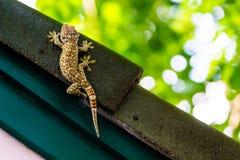 Gecko som lägger på det mörka taket med den gröna väggen och gräsplanbokehbakgrund Royaltyfri Bild