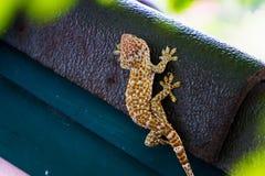 Gecko som lägger på det mörka taket med den gröna väggen och gräsplanbokehbakgrund Royaltyfria Foton