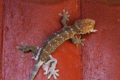 Gecko som ruggar av den gamla huden arkivbild