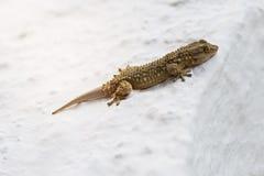 Gecko som tar ett solbad på en vit vägg arkivbilder