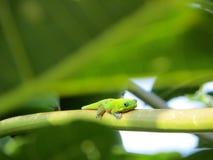Gecko som vilar på en filial Royaltyfria Foton