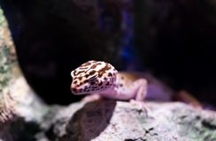 Gecko sortant d'une caverne foncée de roche photographie stock libre de droits