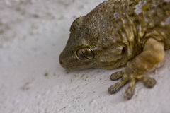 Gecko standing on a white wall Royalty Free Stock Image