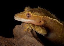 Gecko stare Stock Image