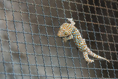 Gecko on steel mesh Royalty Free Stock Image