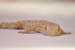 Gecko is sticking on wall Royalty Free Stock Image