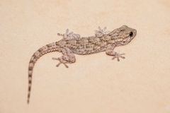 Gecko on a stone surface Stock Photography