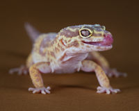 The Gecko style. Macro of a pretty gecko with the tongue out Stock Images
