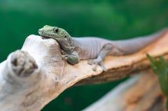 Gecko sulla filiale fotografia stock