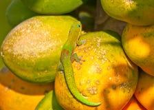 Gecko sulla papaia fotografia stock