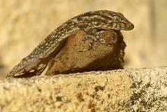 Gecko sulla roccia al sole fotografia stock