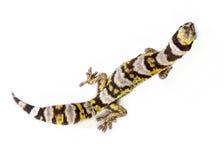 Gecko supérieur photographie stock libre de droits