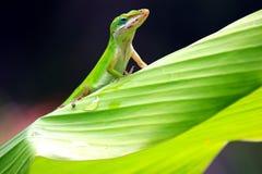 Gecko sur la feuille Photographie stock libre de droits