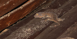 Gecko sur la maison en bois Photos stock