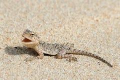 Gecko sur la plage Photo libre de droits