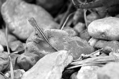 Gecko sur la roche Images libres de droits