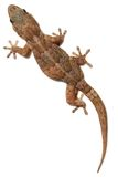 Gecko sur le blanc photos stock