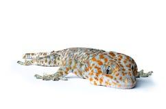 Gecko sur le fond blanc photos libres de droits