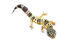 Gecko sur le fond de blanc de mur image libre de droits