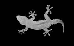 Gecko sur le fond noir Photos libres de droits