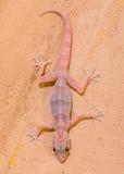 Gecko sur le mur images stock