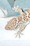 Gecko sur le mur Image stock