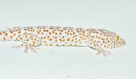 Gecko sur le mur Photographie stock libre de droits